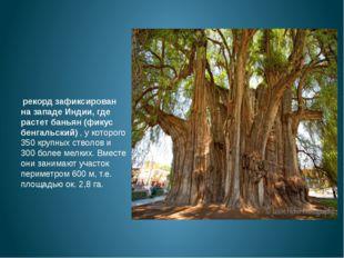 рекорд зафиксирован на западе Индии, где растет баньян (фикус бенгальский)