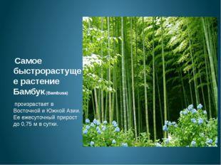 Самое быстрорастущее растение Бамбук (Bambusa) произрастает в Восточной и