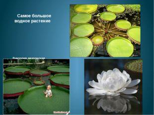Самое большое водное растение  Виктория амазонская произрастает в Южной