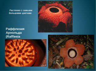 Растение с самыми большими цветами Раффлезия Арнольда (Rafflesia arnoldii)