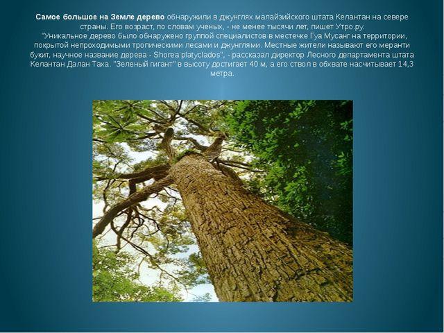 Самое большое на Земле деревообнаружили в джунглях малайзийского штата Келан...
