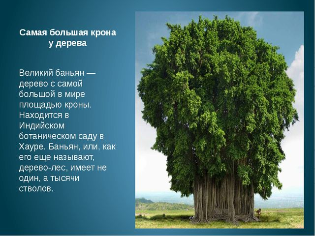 Самая большая крона у дерева Великий баньян — дерево с самой большой в мире п...