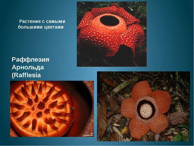 Растение с самыми большими цветами Раффлезия Арнольда (Rafflesia arnoldii)...
