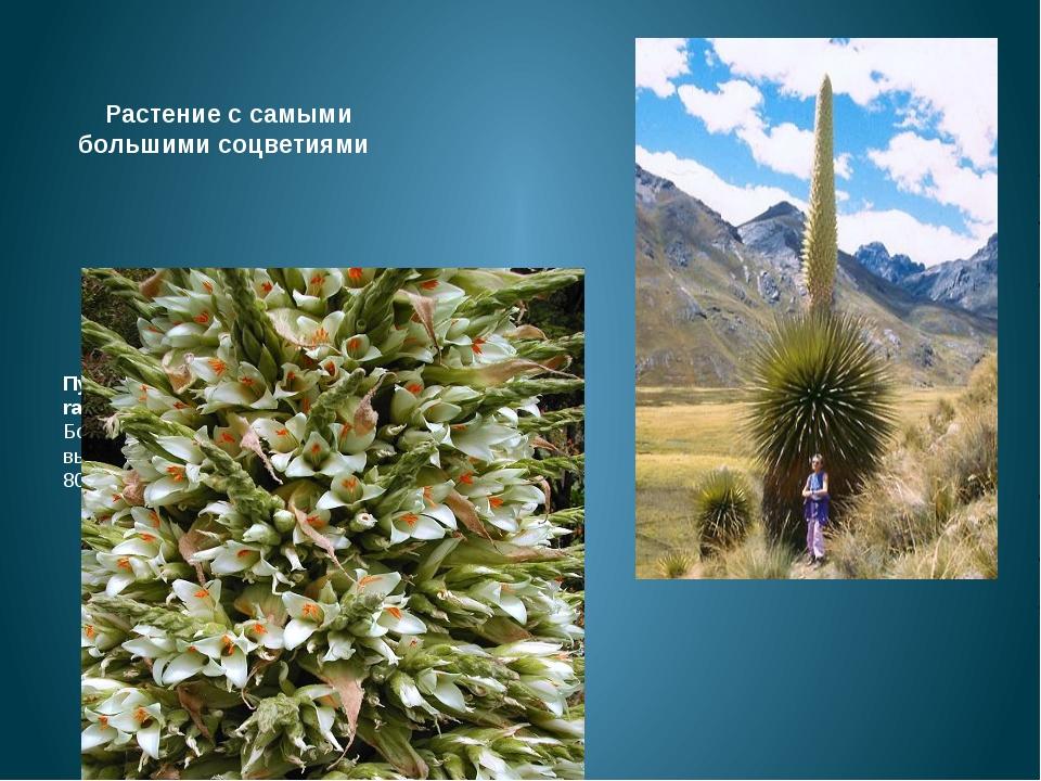 Растение с самыми большими соцветиями Пуйя Раймонда (Puya raimondii), произ...