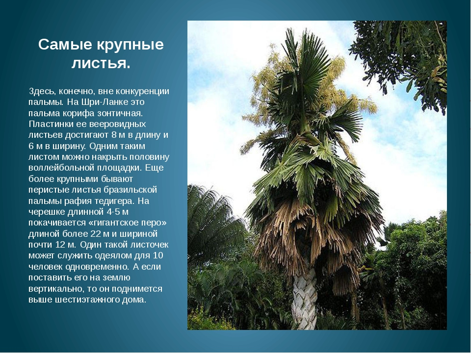 Самые крупные листья. м Здесь, конечно, вне конкуренции пальмы. На Шри-Ланке...