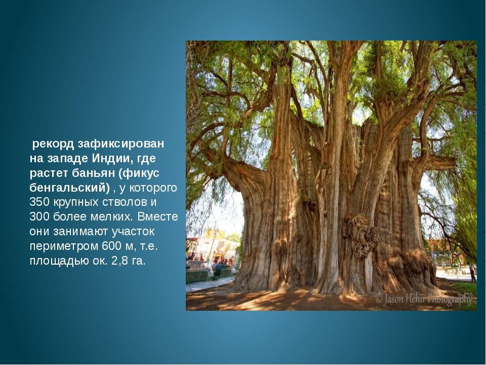 рекорд зафиксирован на западе Индии, где растет баньян (фикус бенгальский)...