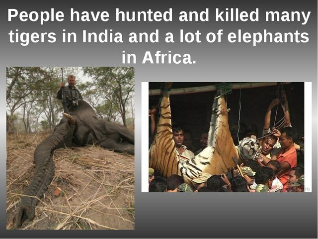 People have hunted and killed many tigers in India and a lot of elephants in...