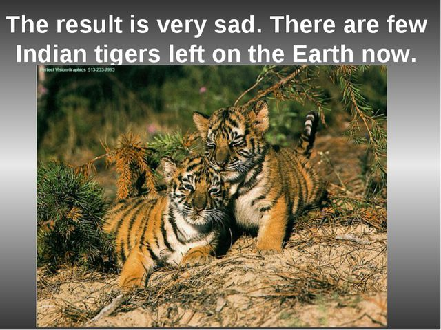 The result is very sad. There are few Indian tigers left on the Earth now.