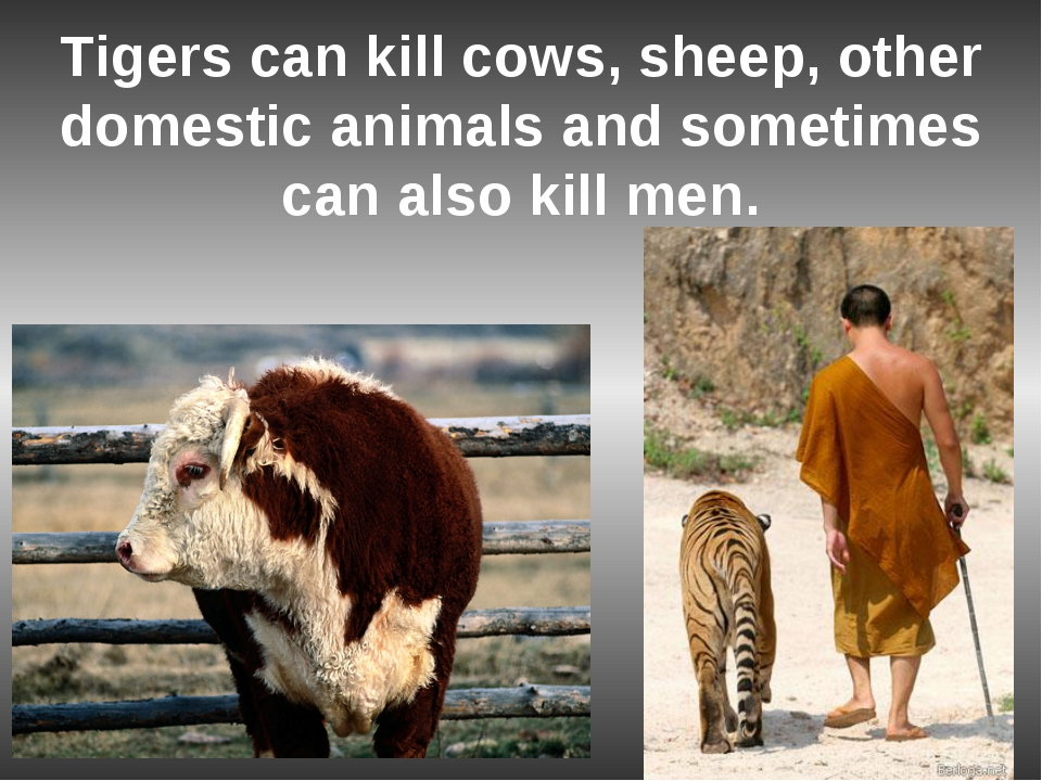 essay on pet animals cow Animals are important essay sample animals are one of god's greatest masterpieces  pet animals are often used for  lamb and cow simply to make a.