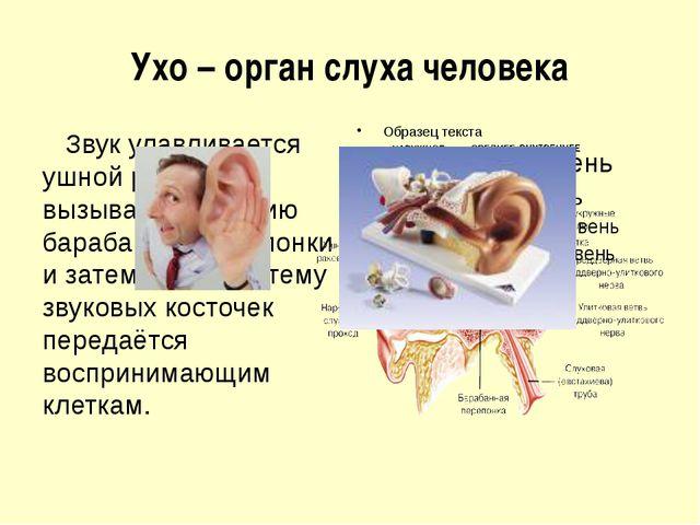 Ухо – орган слуха человека Звук улавливается ушной раковиной, вызывает вибрац...