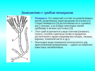 Знакомство с грибом пеницилом. Пеницилл. Его мицелий состоит из разветвленных