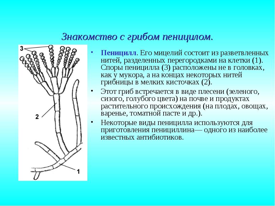 Знакомство с грибом пеницилом. Пеницилл. Его мицелий состоит из разветвленных...