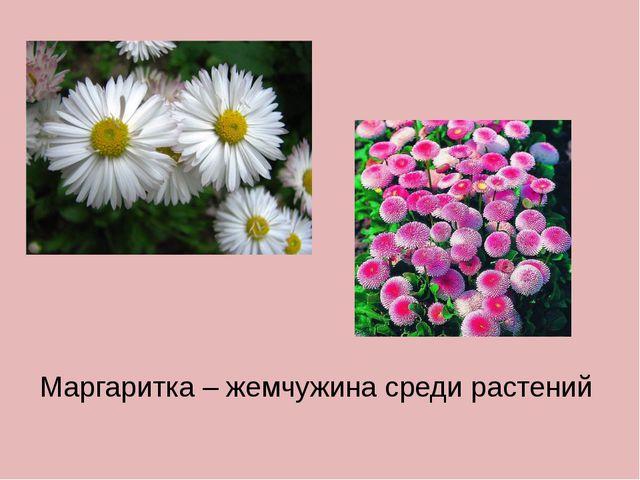 Маргаритка – жемчужина среди растений