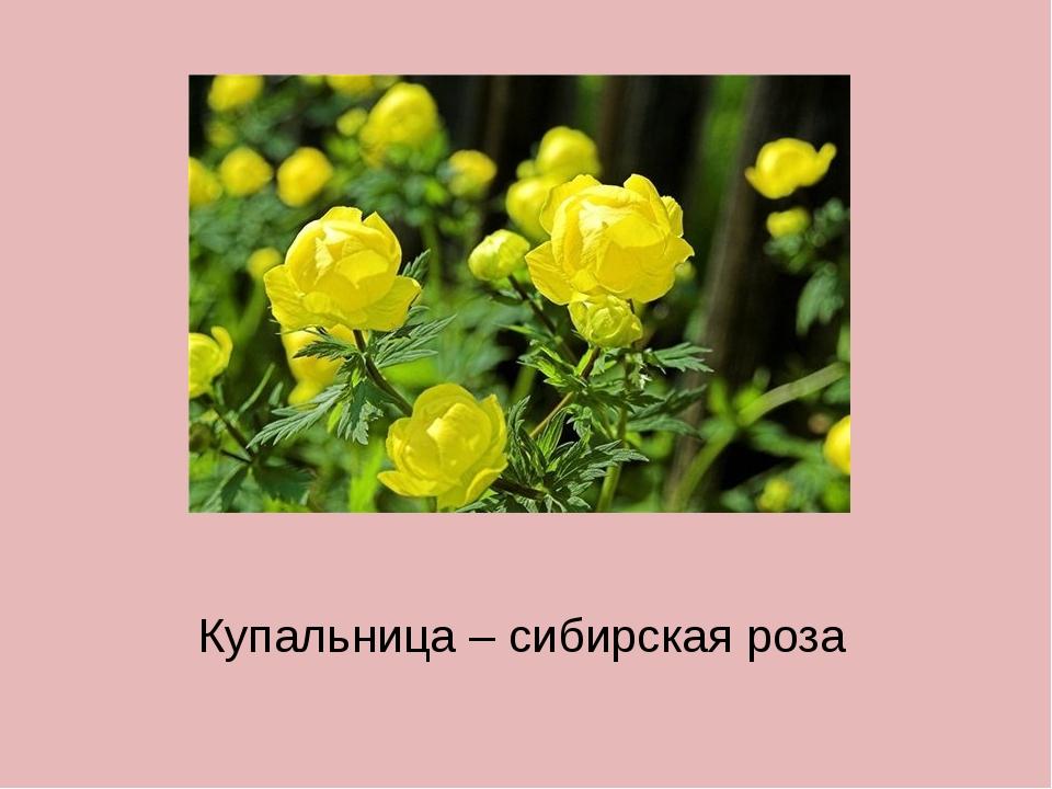 Купальница – сибирская роза