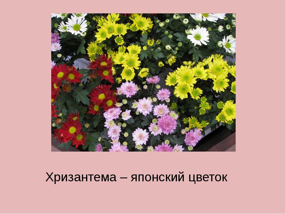 Хризантема – японский цветок