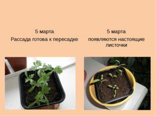 5 марта 5 марта Рассадаготова к пересадке появляются настоящие листочки