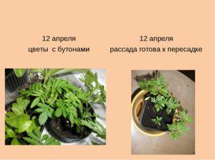 12 апреля 12 апреля цветыс бутонами рассадаготова к пересадке