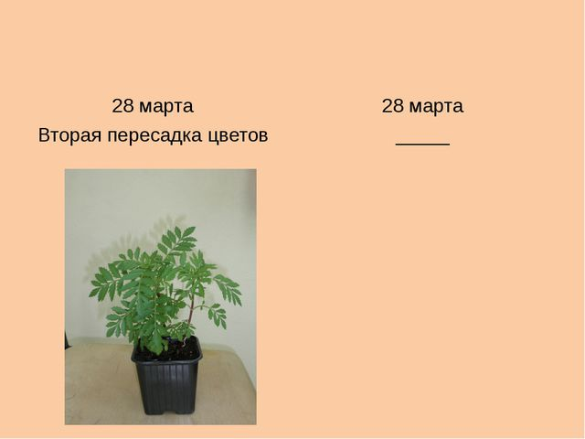 28 марта 28 марта Втораяпересадка цветов _____