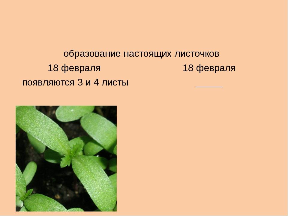 образование настоящих листочков 18 февраля 18 февраля появляются 3 и 4 листы...