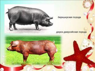 беркширская порода дюрок джерсейская порода