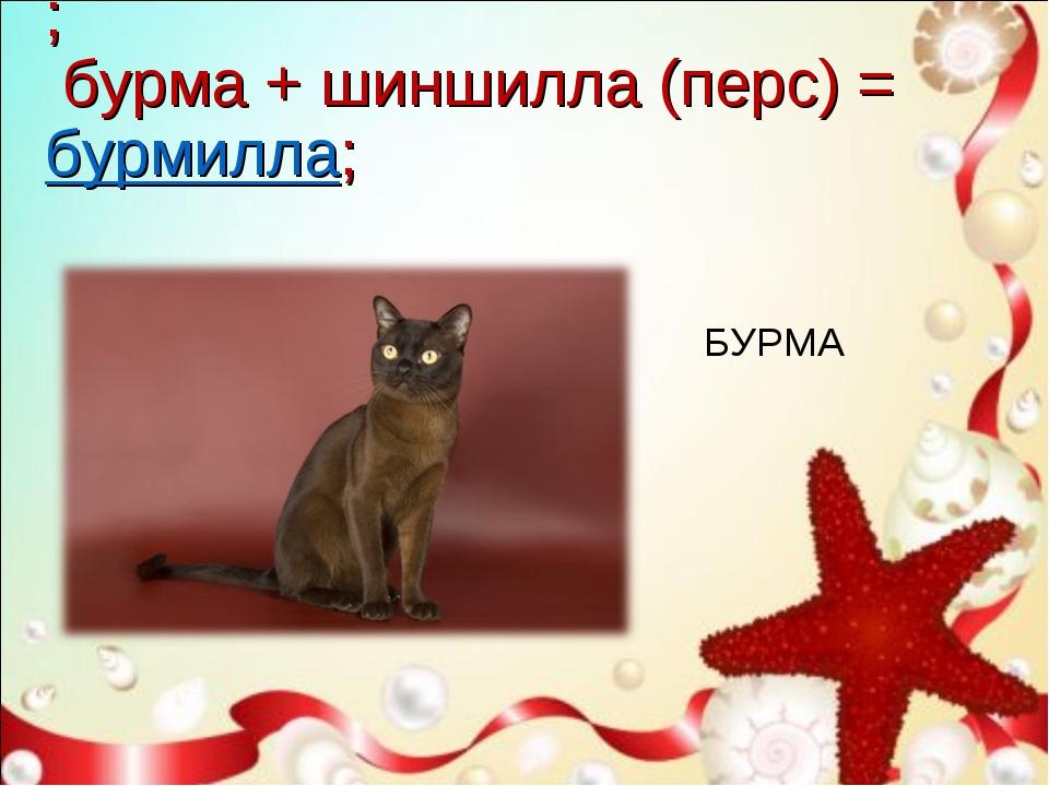 ; бурма + шиншилла (перс) =бурмилла; БУРМА