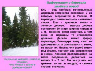 Информация о деревьях хвойных пород Ель - род хвойных вечнозеленых деревьев с