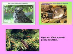 Кору ели едят еловые усачи и короеды