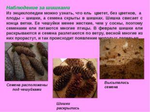 Наблюдение за шишками Из энциклопедии можно узнать, что ель цветет, без цветк