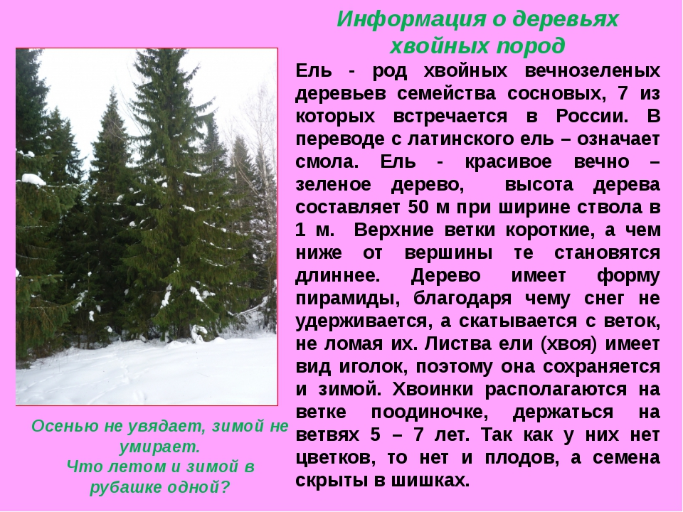 Информация о деревьях хвойных пород Ель - род хвойных вечнозеленых деревьев с...