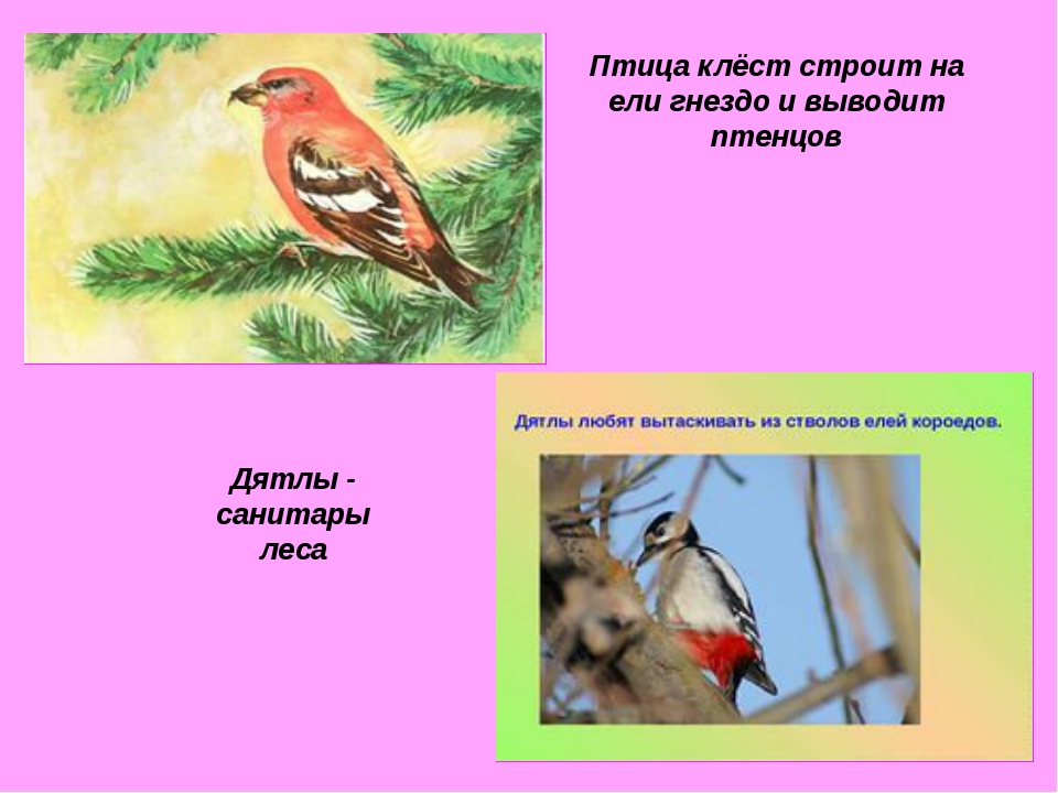 Птица клёст строит на ели гнездо и выводит птенцов Дятлы - санитары леса