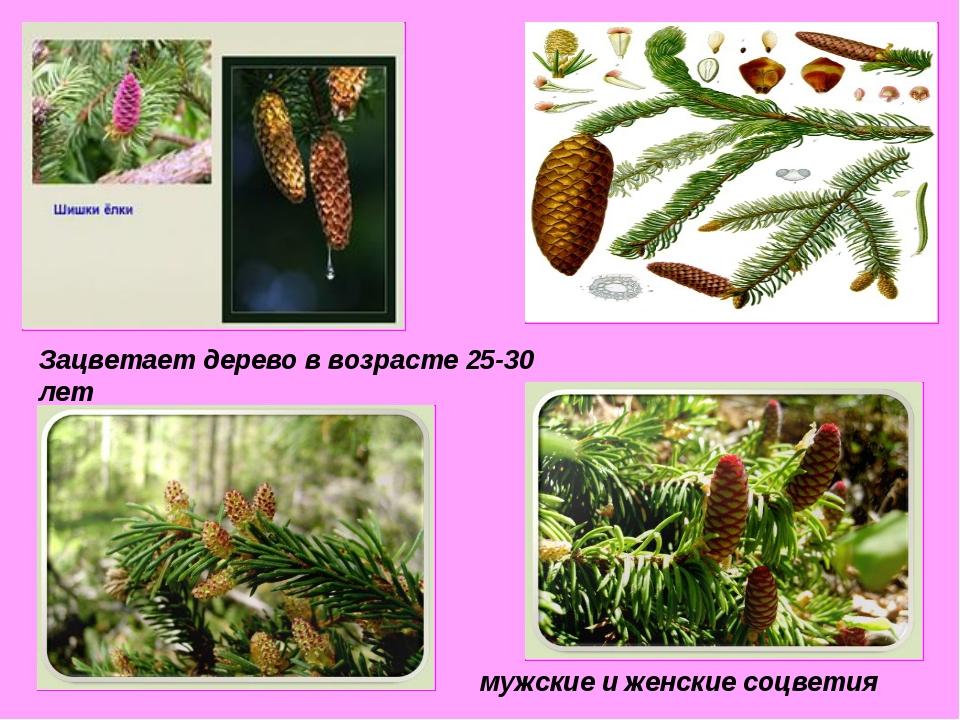Зацветает дерево в возрасте 25-30 лет мужские и женские соцветия
