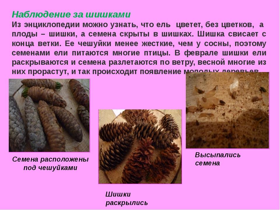 Наблюдение за шишками Из энциклопедии можно узнать, что ель цветет, без цветк...