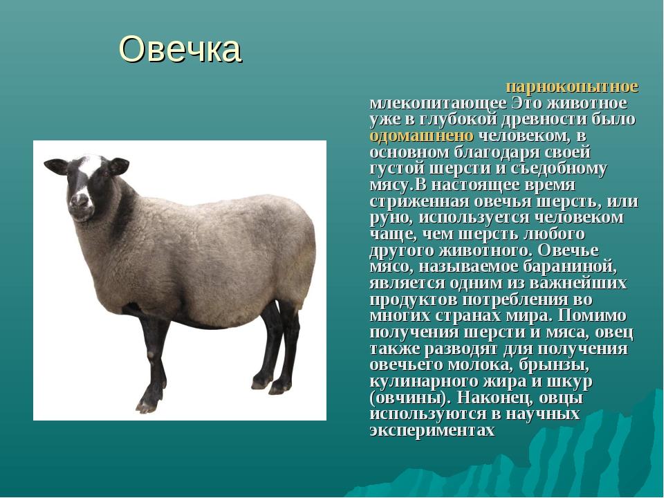 Овечка Дома́шняя овца́ парнокопытное млекопитающее Это животное уже в глубоко...