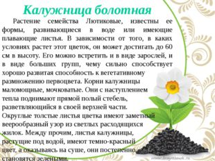 Калужница болотная Растение семейства Лютиковые, известны ее формы, развива