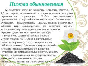 Пижма обыкновенная Многолетнее растение семейства Астровых. Высотой до 1,5