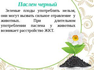 Паслен черный Зеленые плоды употреблять нельзя, они могут вызвать сильное о