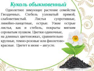 Куколь обыкновенный Однолетнее зимующее растение семейства Гвоздичных. Стеб