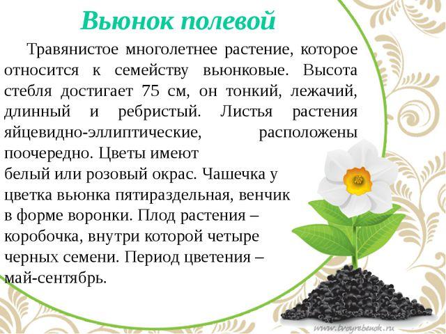 Вьюнок полевой Травянистое многолетнее растение, которое относится к семейс...