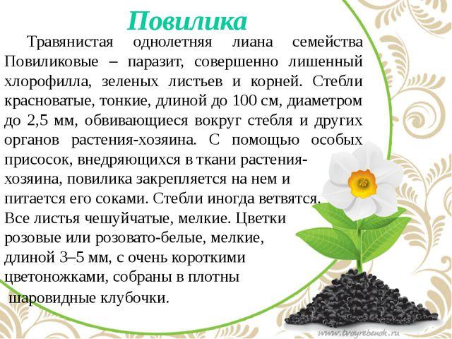 Повилика Травянистая однолетняя лиана семейства Повиликовые – паразит, сове...