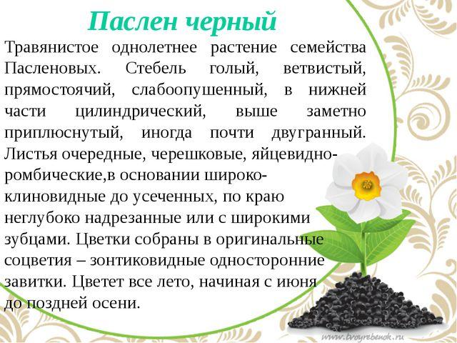 Паслен черный Травянистое однолетнее растение семейства Пасленовых. Стебель...