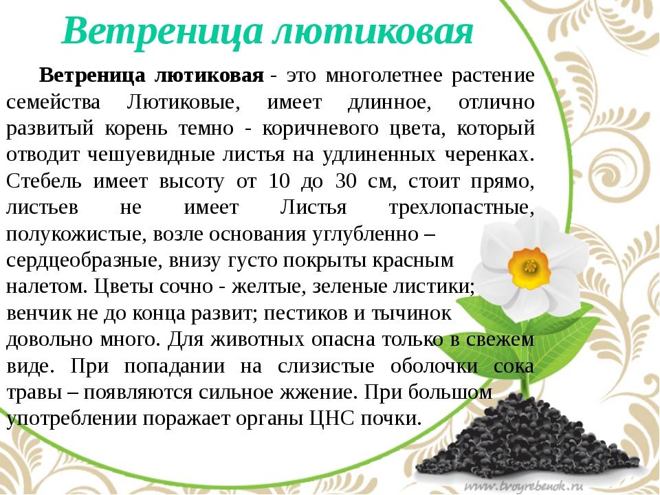 Ветреница лютиковая Ветреница лютиковая- это многолетнее растение семейств...