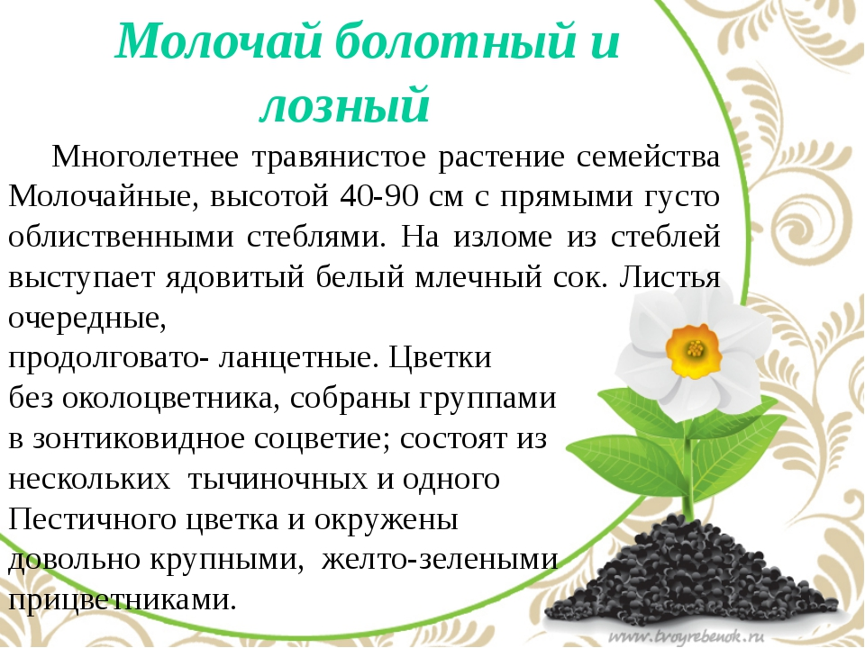 Молочай болотный и лозный Многолетнее травянистое растение семейства Молоча...