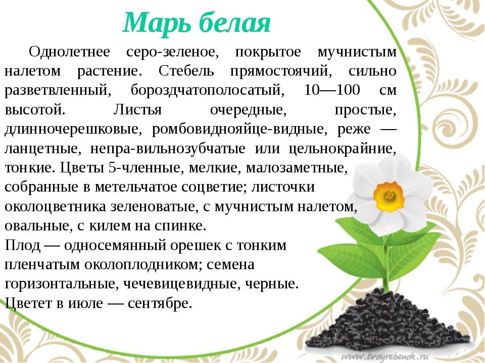 Марь белая Однолетнее серо-зеленое, покрытое мучнистым налетом растение. Ст...