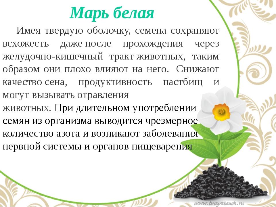 Марь белая Имея твердую оболочку, семена сохраняют всхожесть дажепосле про...
