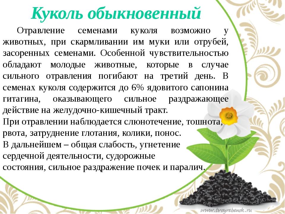 Куколь обыкновенный Отравление семенами куколя возможно у животных, при ска...