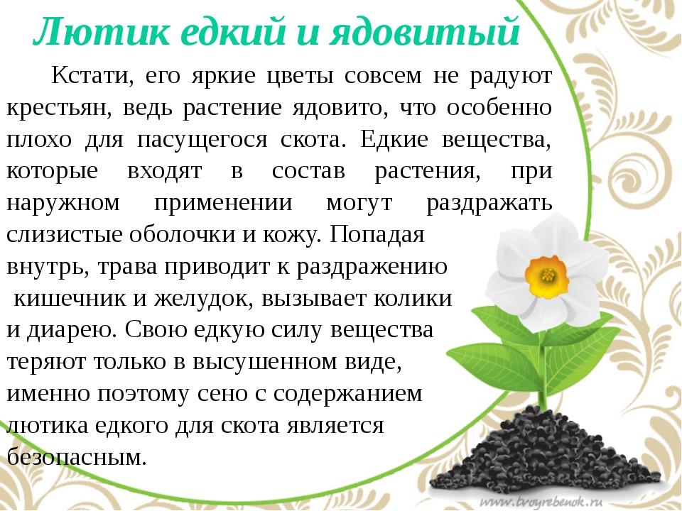 Лютик едкий и ядовитый   Кстати, его яркие цветы совсем не радуют крестьян...