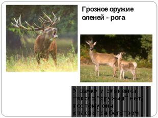 """Грозное оружие оленей - рога У самки и оленёнка такого """"оружия"""" нет, поэтому"""
