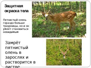 Защитная окраска тела Пятнистый олень гораздо больше траурницы, но и он умеет