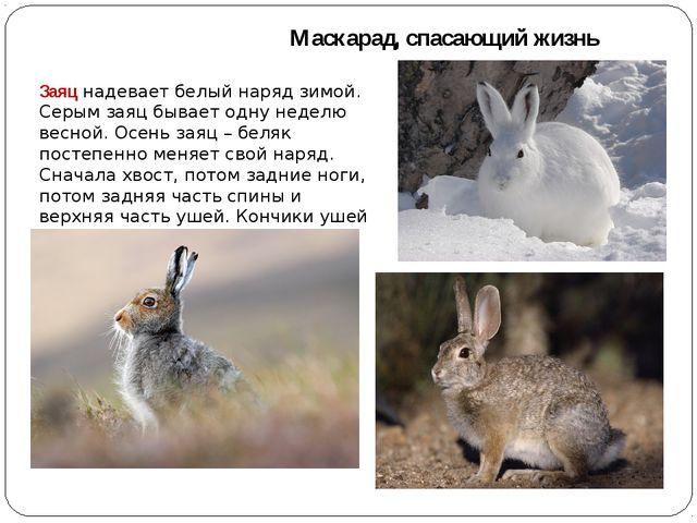 Маскарад, спасающий жизнь Заяц надевает белый наряд зимой. Серым заяц бывает...