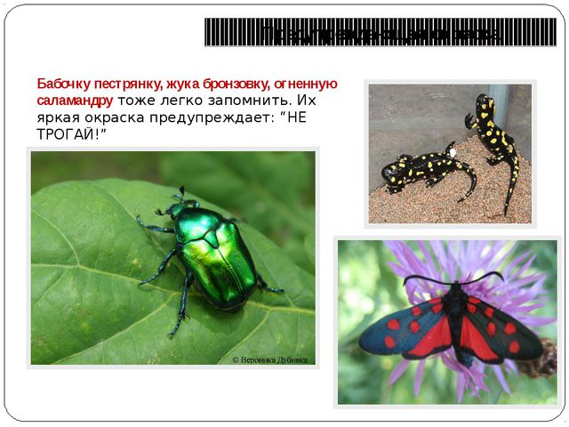 Предупреждающая окраска Бабочку пестрянку, жука бронзовку, огненную саламандр...